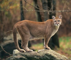 Image result for image of a cougar in oregon