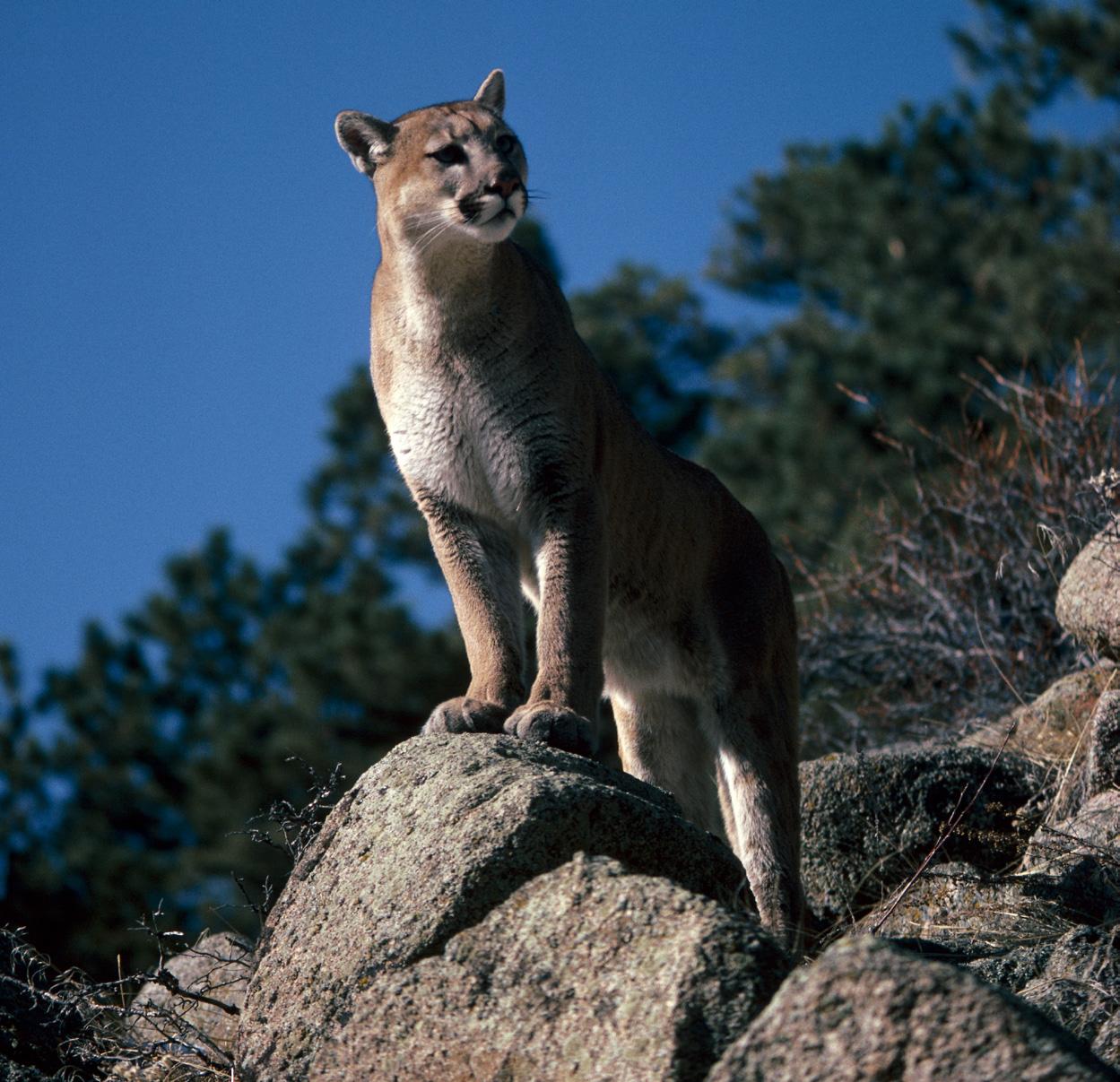 Oregon cougars